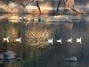 ducks-in-nakki