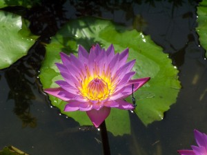 Lotus at PGH
