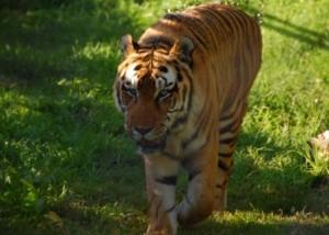 Tiger, at last